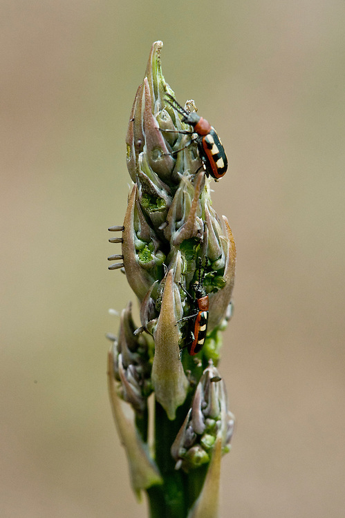 Common asparagus beetles (Crioceris asparagi) feeding on the young spears of asparagus plants, mid-late May.