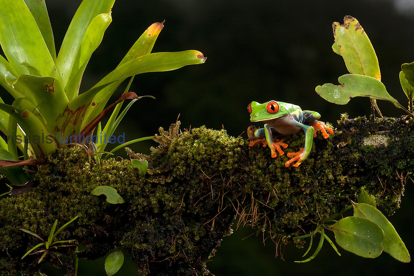 Red-eyed Tree Frog (Agalychnis callidryas), Costa Rica