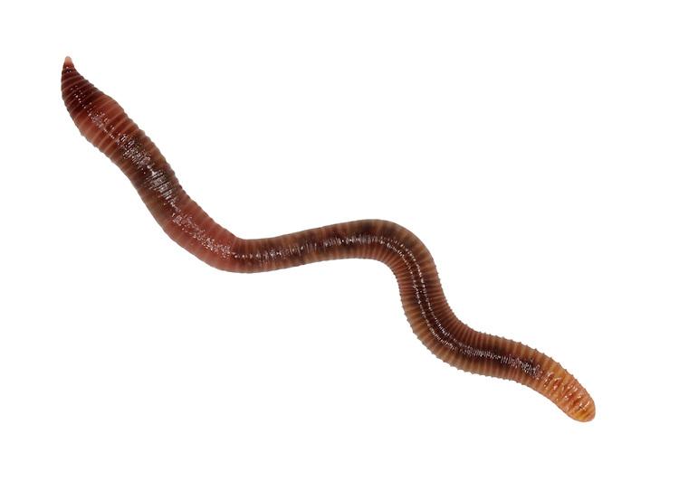 Compost Worm - Eisenia veneta