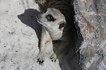Meerkat in sand