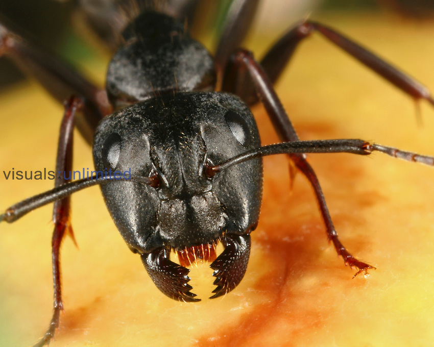 High Quality Black Garden Ant (Lasius Niger) On Fruit Showing Facial Structures.