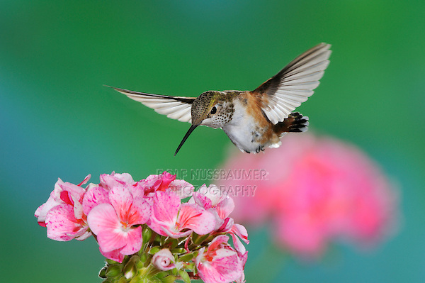 Rufous Hummingbird (Selasphorus rufus), female in flight feeding on Geranium  flower, Gila National Forest, New Mexico, USA