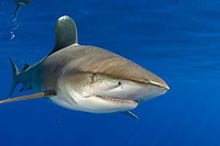Oceanic white tip, Carcharhinus longimanus, Mozambique Channel, Indian Ocean, Eastern Africa