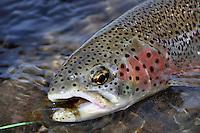 Alaska rainbow trout.