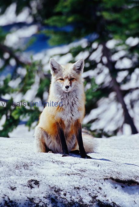 Red Fox ,Vulpes vulpes, sitting on snow, Mt. Rainier National Park, Washington, USA.