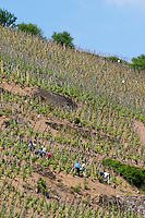 vineyard workers in a steep vineyard in spring removing sucker shoots condrieu rhone france