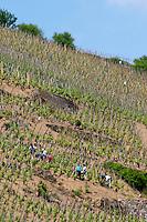 vineyard workers in a steep vineyard in spring removing sucker shoots condrieu rhone france