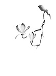 Beautiful elegant magnolia branch with two blooming flowers, artistic oriental Zen style sumi-e illustration, black design isolated on white background