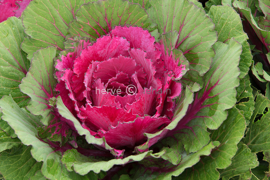 chou d'ornement 'Pigeon Purple', Brassica oleracea 'Pigeon Purple' // ornamental cabbage 'Purple Pigeon'