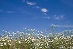 Europa, DEU, Deutschland, Nordrhein Westfalen, NRW, Rheinland, Niederrhein, Kervenheim, Feld, Acker, Ackerrand, Ackerrandpflanzen, Blumen, Blueten, Sommer, Kategorien und Themen, Natur, Umwelt, Pflanzen, Pflanzenkunde, Botanik, Biologie, Natur, Naturfoto, Naturfotos, Naturfotografie, Naturphoto, Naturphotographie, Landschaft, Landschaften, Landschaftsfoto, Landschaftsfotografie, Landschaftsphoto, Landschaftsphotographie......[Fuer die Nutzung gelten die jeweils gueltigen Allgemeinen Liefer-und Geschaeftsbedingungen. Nutzung nur gegen Verwendungsmeldung und Nachweis. Download der AGB unter http://www.image-box.com oder werden auf Anfrage zugesendet. Freigabe ist vorher erforderlich. Jede Nutzung des Fotos ist honorarpflichtig gemaess derzeit gueltiger MFM Liste - Kontakt, Uwe Schmid-Fotografie, Duisburg, Tel. (+49).2065.677997, ..archiv@image-box.com, www.image-box.com]