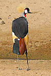 WEST AFRICAN CROWNED CRANE, balearica pavonina pavonina;  IMAGES OF SAN DIEGO, CALIFORNIA, USA, WILD ANIMAL PARK