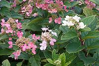 Hydrangea paniculata 'Dart's Little Dot'