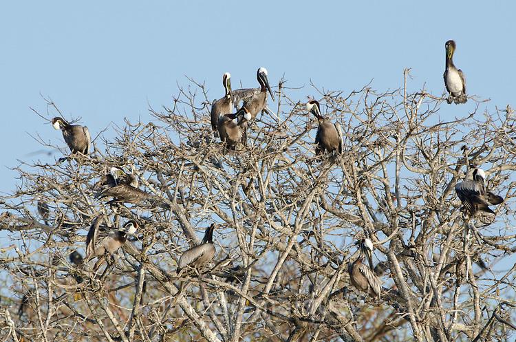 Brown Pelicans (Pelecanus occidentalis carolinensis) resting in tree branches. Pacheca Island, Las Perlas Archipelago, Panama, Central America.