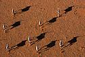 Namibia, Namib Desert, Namibrand Nature Reserve, aerial of oryx (Oryx gazella) running in desert