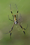Golden silk spider, Nephila clavipes, Costa rica, on web, tropical jungle.Central America....