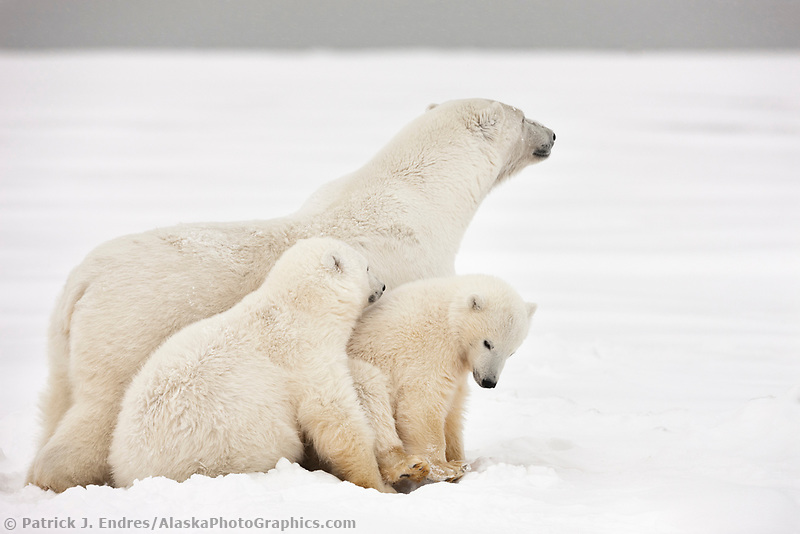 Polar bear sow is vigilant over her cubs on an island in the Beaufort Sea, Arctic, Alaska.