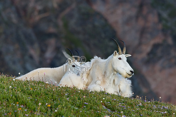 """Mountain Goat (Oreamnos americanus) nannies and kid on edge of alpine meadow in the Beartooth Mountains near the Wyoming/Montana border.  The closer nanny is still shedding from her heavy winter coat of fur to a new """"summer weight"""" fur coat which will grow long again for the next winter."""