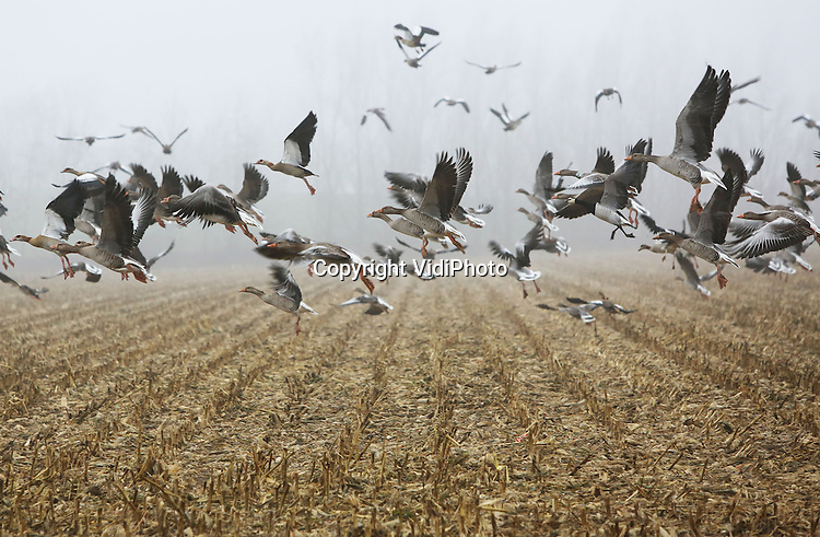 Foto: VidiPhoto<br /> <br /> HOMOET - Een kleine wereld woensdag in een groot deel van Nederland. Het midden, oosten en zuiden van ons land had woensdag te maken met een dichte tot zeer dichte mist, die voor veel overlast zorgde. Foto: Opvliegende ganzen boven een geoogste ma&iuml;sakker in het Gelderse Homoet.