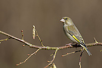 Grünfink, Grünling, Weibchen, Grün-Fink, Chloris chloris, Carduelis chloris, greenfinch, female, Verdier d'Europe