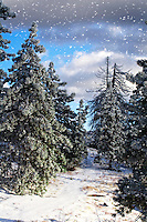Snow falling on pines in Idyllwild, CA