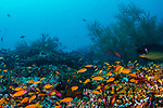 Colorful reef with Anthias, Flasher, red coral grouper and cleaning station