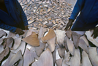 Drying Shark fins to Hong Kong for Shark fin soup and medicine. Natal Sharks Board, Umhlanga, South Africa, Indian Ocean, Southern Africa