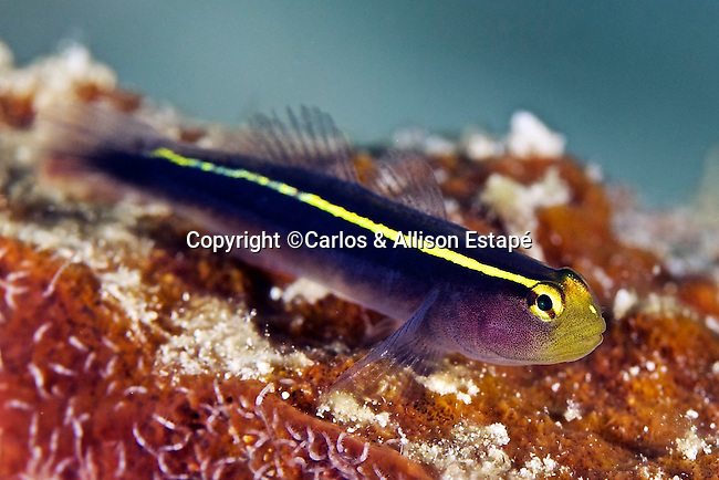 Elacatinus horsti, Yellowline goby, (sponge), Bonaire