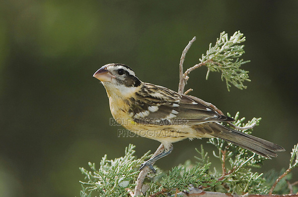 Black-headed Grosbeak, Pheucticus melanocephalus, female, Paradise, Chiricahua Mountains, Arizona, USA, August 2005