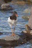 Austernfischer, flügger Jungvogel, Küken, Haematopus ostralegus, oystercatcher
