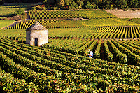 .Burgundy vineyards with stone shelter and man checking grapes.  Near Beaune, France....