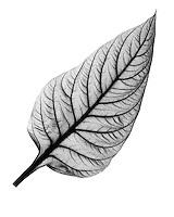 Xray celosia leaf
