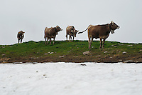 Heifers in the mist and snow of the highest alp, Switzerland...Cowherd and cheesemaker spends 100 days in the summer, high up in the mountains, tending cows and pigs and making cheese at Balisalp and Käserstatt near Meiringen, Switzerland.