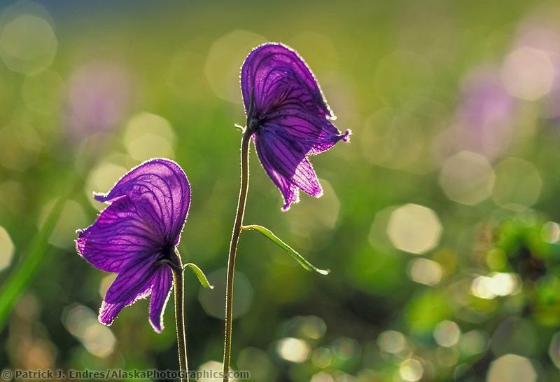 Monkshood wildflower, a poisonous plant, is backlit by late summer sun, Denali National Park, Alaska