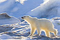 polar bear, Ursus maritimus, foraging on multi-year ice floes, Edgeoya or Edge Island, Svalbard, Norway, Barents Sea, Arctic Ocean