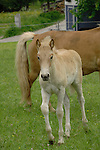 Horse and foal in pasture, Imst district, Austria.