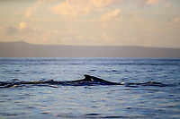 A humpback whale cruises past in the early morning light during a whale watching cruise, Maui.