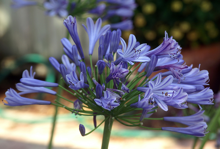 The Allium flower is actually a collection of smaller flowers.