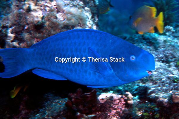 Blue Parrotfish, Scarus coeruleus