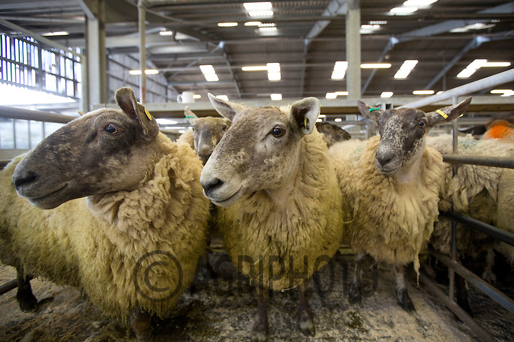 Cull Ewes in Newark Livestock Market<br /> Picture Tim Scrivener date taken 8th June 2013<br /> Mobile 07850 303986 e-mail tim@agriphoto.com<br />           ?.covering agriculture in the Uk?.