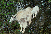 Mountain Goats--nanny with young kid on rocky cliff face.  Pacific Northwest.  Spring.  Nanny is shedding heavy winter fur.