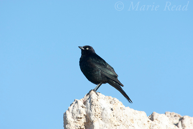 Brewer's Blackbird (Euphagus cyanocephalus), male perched on tufa tower, Mono Lake, California,USA