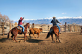 USA, California, Mammoth, a few cowboys lasso and wrangle cattle on Tatum Ranch in Bishop