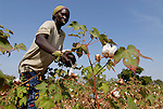 Africa BURKINA FASO fairtrade and organic cotton project , women of village Dapury harvest cotton by hand