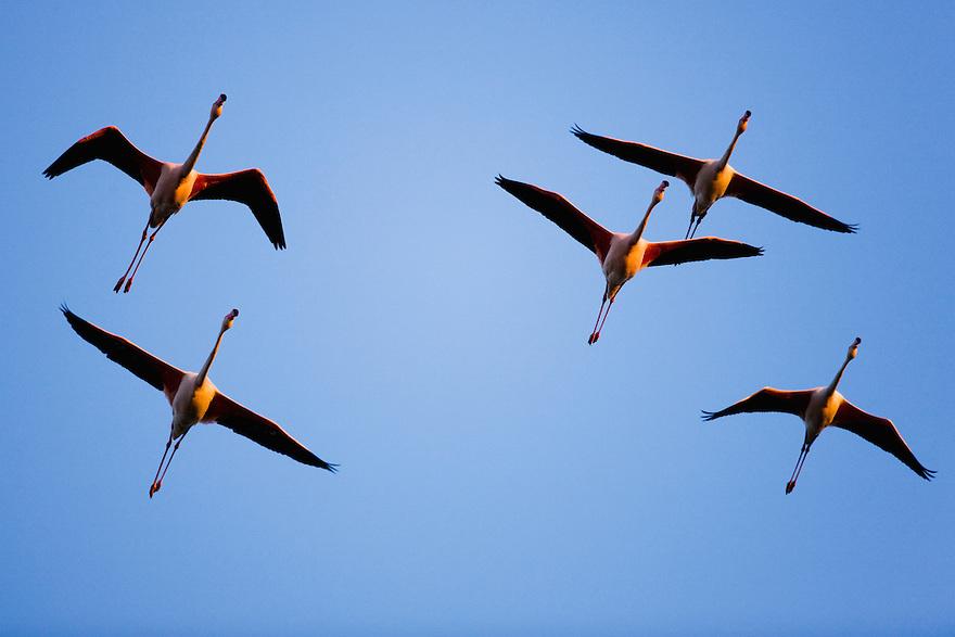 Greater Flamingos (Phoenicopterus roseus) in flight, at sunset, Camargue, France