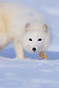 Arctic Fox Walking Across Snow; Captive animal
