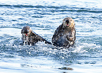 Two sea otters, probably male, Enhydra lutris nereis, stop briefly from their wrestling, playing, dominance struggle to come up from under water for air @ Moss Landing in the Monterey Bay National Marine Sanctuary.