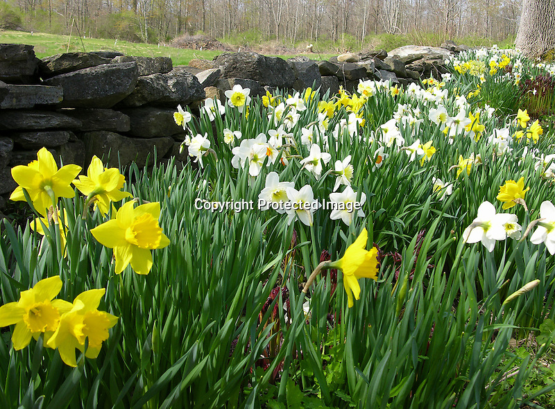 Daffodil Garden in New England, USA