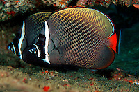 Collared butterflyfish, Chaetodon collare, can be found in large schools on some of the reefs in Thailand. vertebrate free swimming mate fish fishes school group reef pair, underwater, fishes, tropical, marine