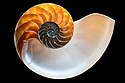 Chambered Nautilus (Nautilus pompilius) shell cross section, originating from Philippines.