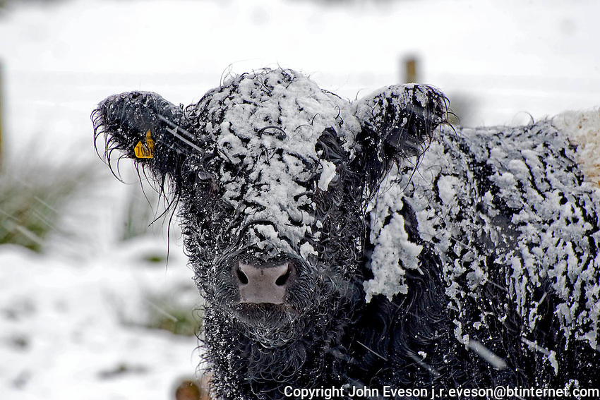 Belted Galloway cattle in the snow.<br /> <br /> <br /> Copyright.<br /> John Eveson, Dinkling Green Farm, Whitewell, Clitheroe, Lancashire. BB7 3BN<br /> 01995 61280. 07973 482705<br /> j.r.eveson@btinternet.com<br /> www.johneveson.com
